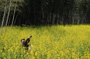 구례 섬진강변 대나무숲길과 야생갓꽃의 아름다운 조화