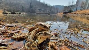 순천에서 두꺼비 대규모 산란·서식지 발견